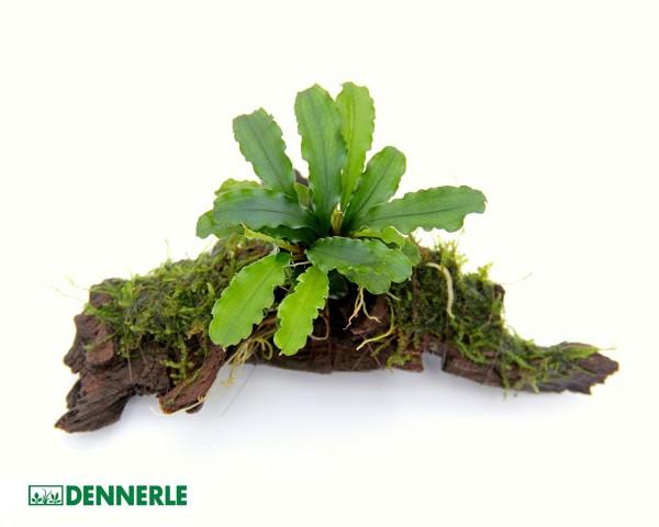 Bucephalandra pygmaea ´Bukit Kelam´ auf Wurzel - Dennerle