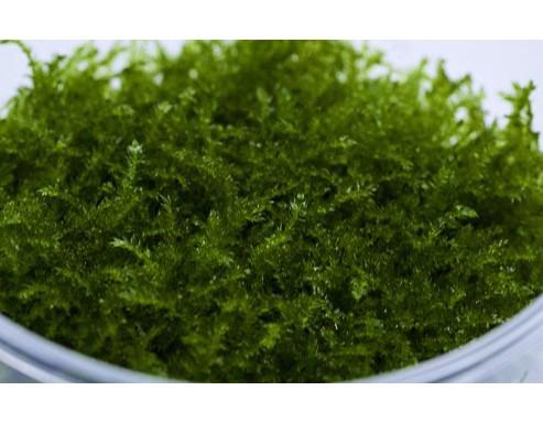 Christmas Moos - Vesicularia montagnei - XXL InVitro Becher