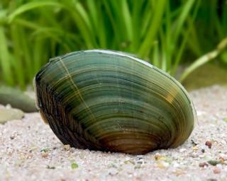 Grüne Süßwassermuschel - Cristaria tenuis